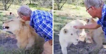 Un homme tente de caresser un lion : Il n'aurait pas dû
