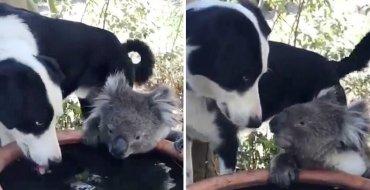 Cute : Un chien invite un koala assoiffé à boire de l'eau