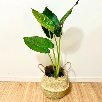 Alocasia Seagrass Basket Pot Me Pretty