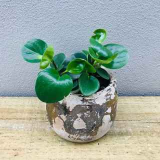 peperomia in cement pot with gold
