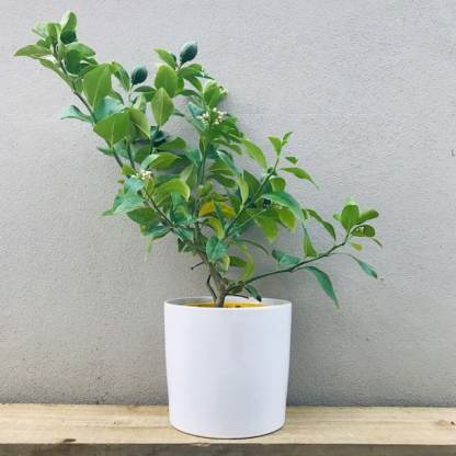 Lemon Tree in a white ceramic pot gift