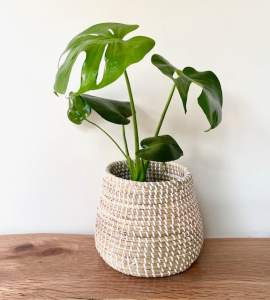 Monstera Plant in Seagrass Basket