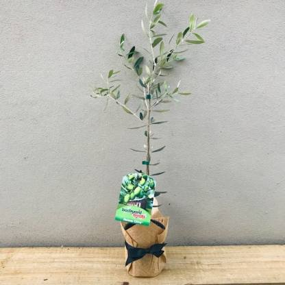 Olive Tree Gift Wrapped in Hessian