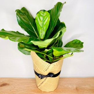 Fiddle leaf fig plant gift