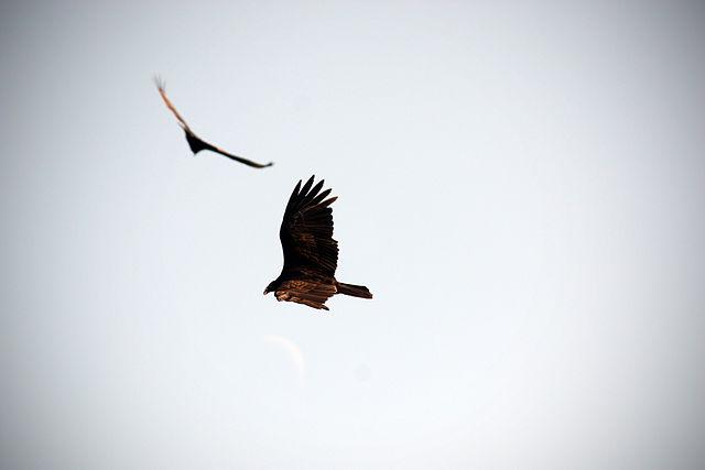640px-Hawk