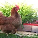 B8 - Besoin des poules