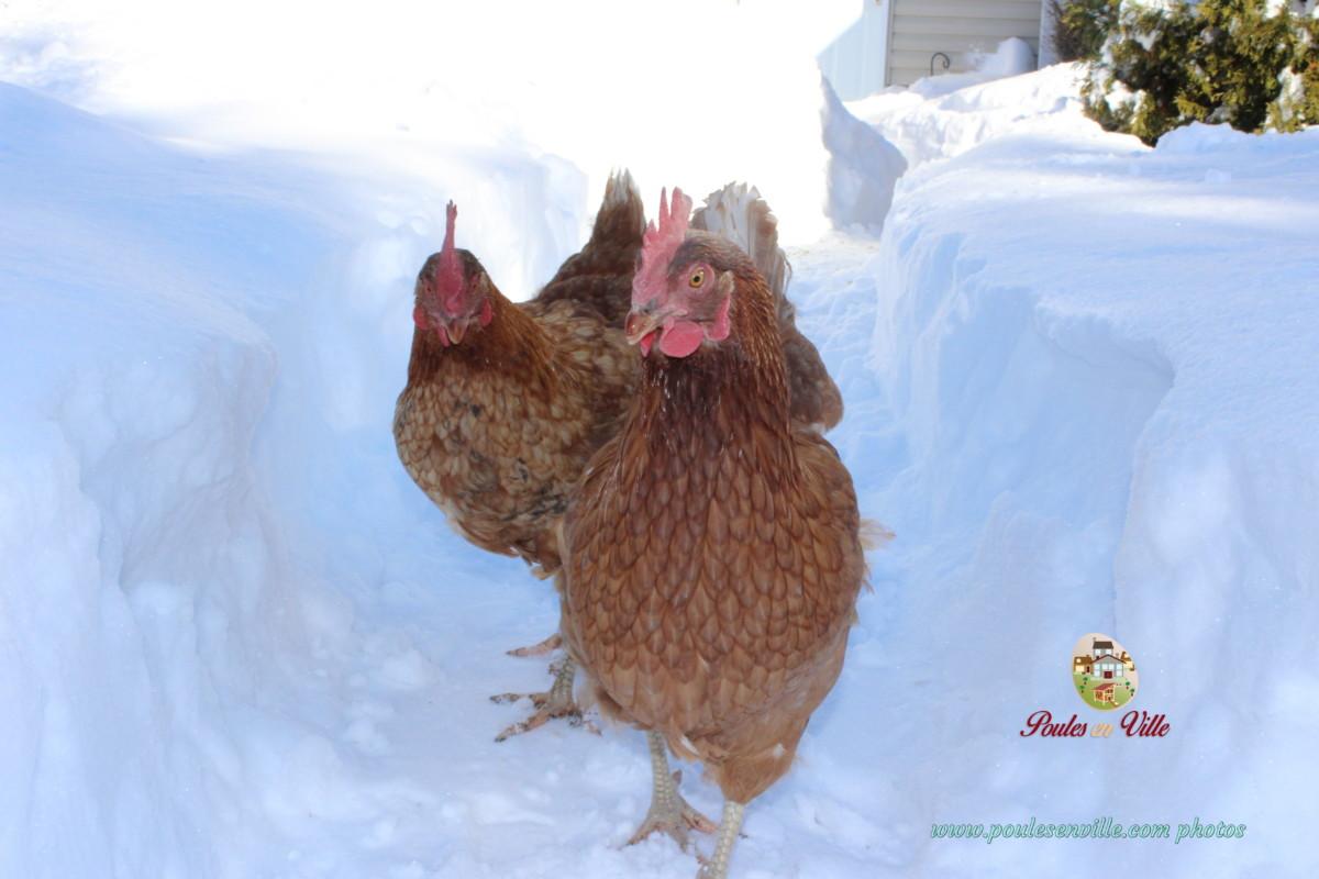 Les nouvelles du pondoir poules en ville - Poules en ville reglementation ...