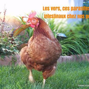 Le contrôle et traitement des vers intestinaux chez nos poules