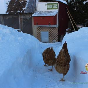 Nos amies les poules, résistantes au froid!