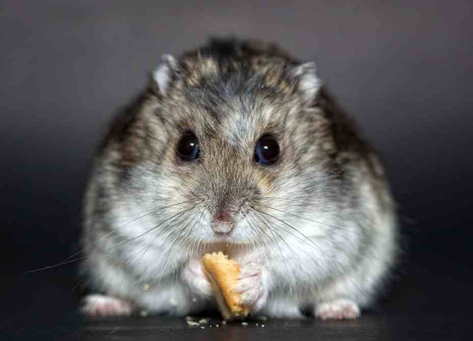 hamster russe grignote de face