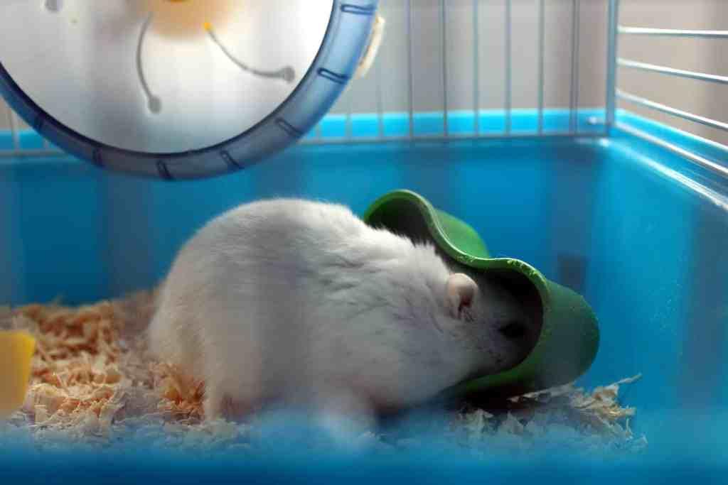 hamster russe blanc mange dans cage