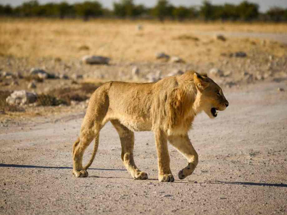Safari au parc national d'Etosha en Namibie 3