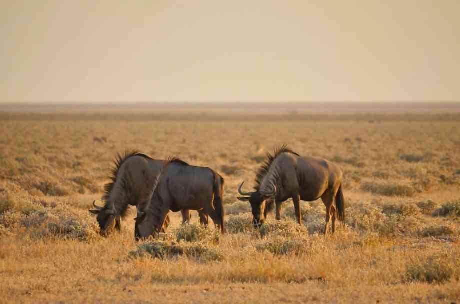Safari au parc national d'Etosha en Namibie 13
