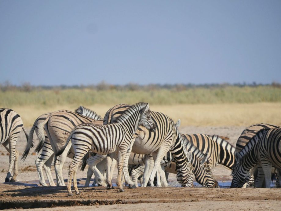 Safari au parc national d'Etosha en Namibie 16