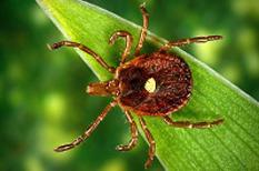 Maladie de Lyme : une maladie aussi grave que négligée