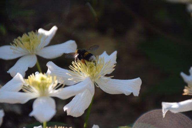 Yvoire - jardin - butinage