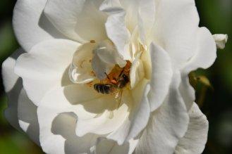 Yvoire - jardin - butinage 2