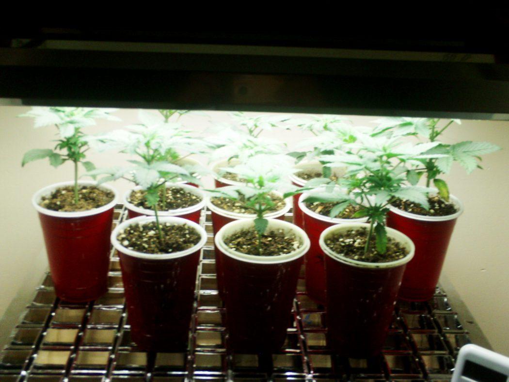 Best Light Bulb Growing Weed