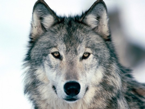 wolf-gray-color-beautiful-kewl1 Gray Wolf Is A Keystone Predator Of The Ecosystem