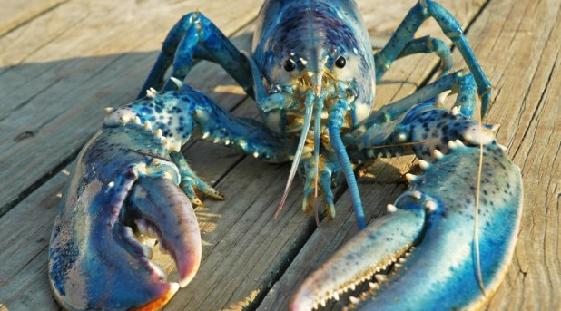 Blue-lobster-520a-1038x576 10 Animals That Outlive People