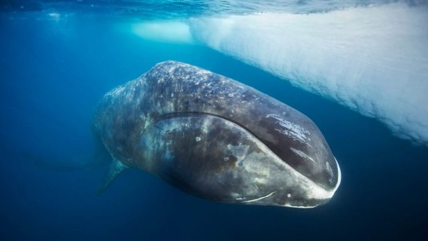 bowhead_whale 10 Animals That Outlive People