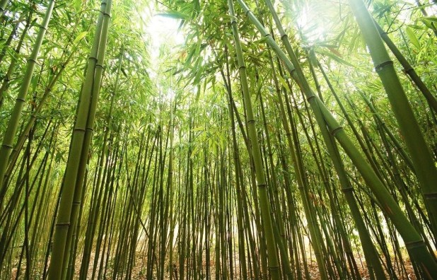 Bamboo-Tree-Image Top 10 Fastest Growing Trees in the World