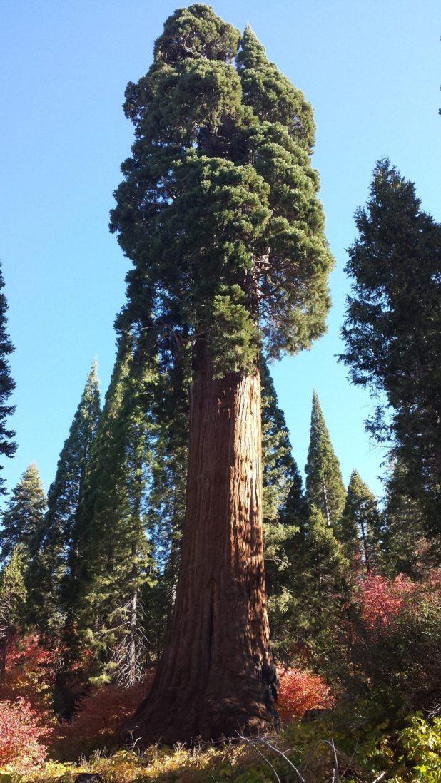 Methuselah_tree Top 10 Fastest Growing Trees in the World