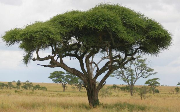 acacia-tree-dream3 Top 10 Fastest Growing Trees in the World