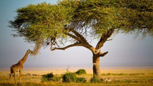 acacia-tree-giraffe Top 10 Fastest Growing Trees in the World