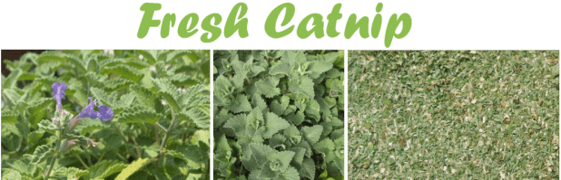 Catnip4 6 Unique Healing Products That You Must Try