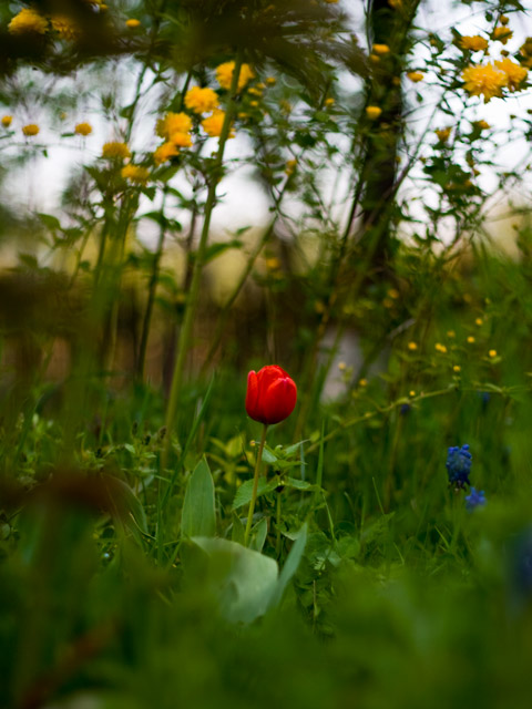 Lonley tulip