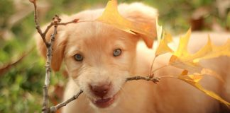 why-are-labradors-the-best-dogs