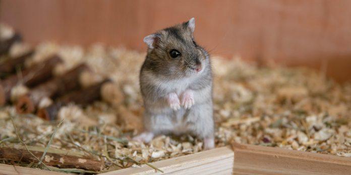 hamster care tips