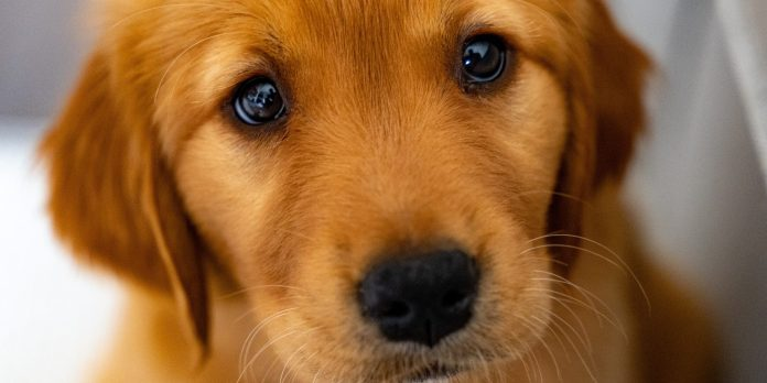 puppy-dog-eyes-how-dogs-evolved-to-be-liked-more-by-humans
