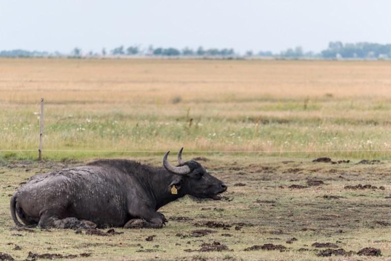 """Maďarské """"watter buffalos"""". Produkujú mlieko bohaté na tuk, vhodné napríklad na výrobu mozarelly"""