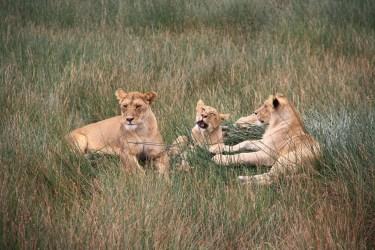 Rodinka levov, Serengeti NP