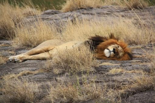Spokojný lev