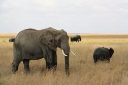 Slon africký, obrovské zviera