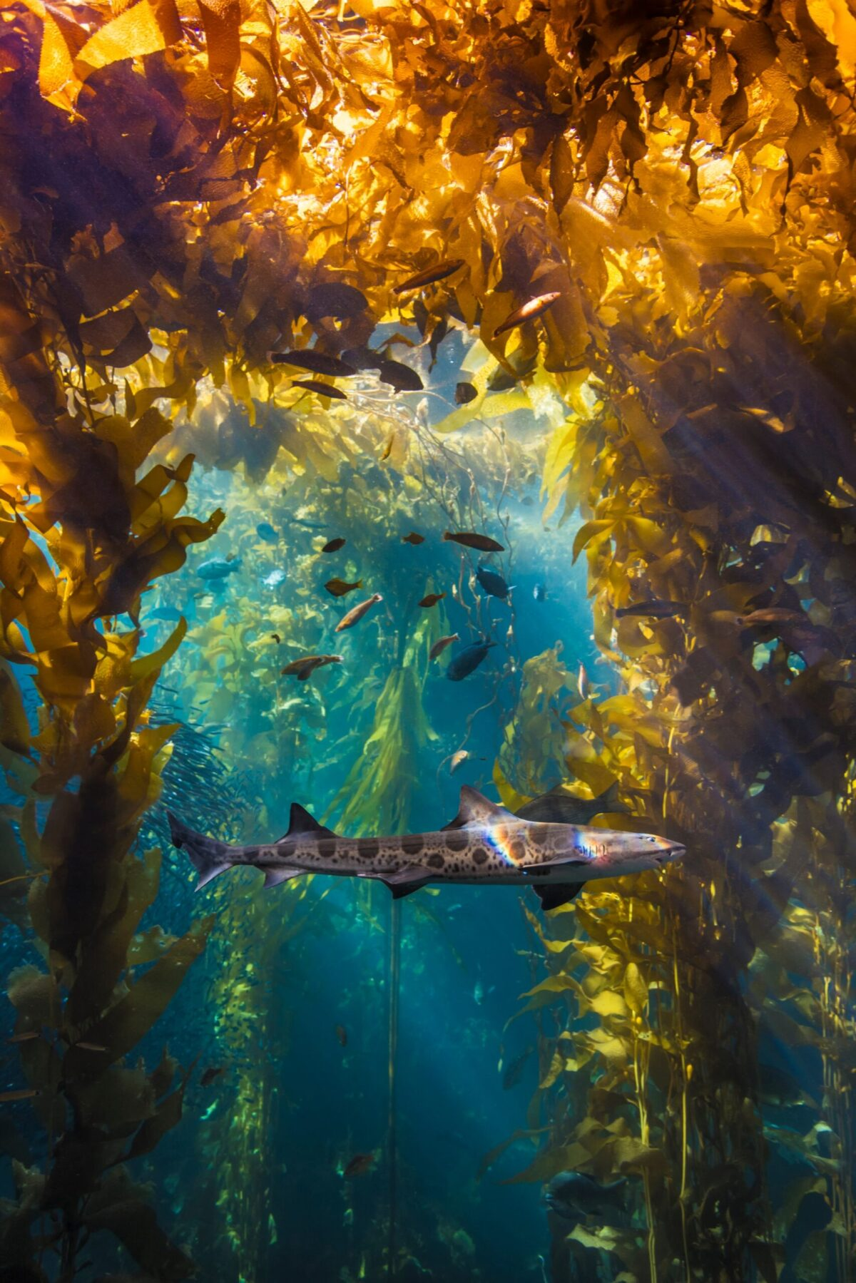 A leopard shark swimming in the Kelp Forest exhibit. ©Monterey Bay Aquarium