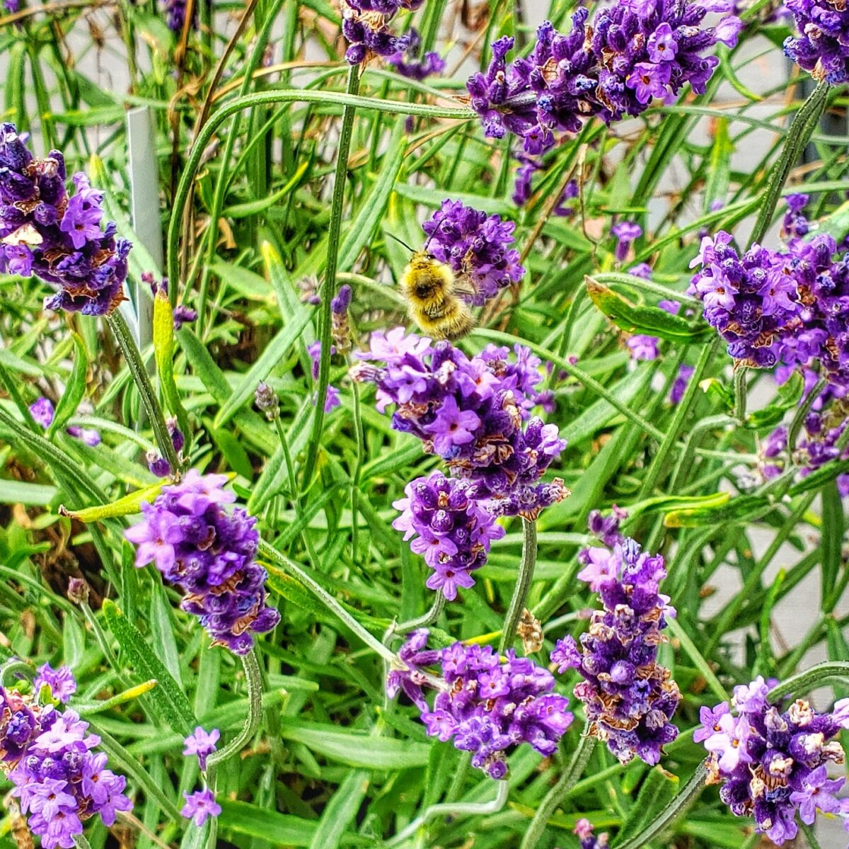 lavender plants with a bumble bee
