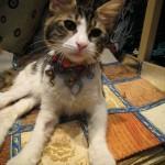 turkish-kitty