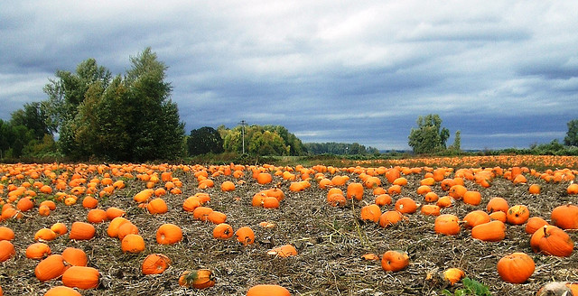 Pumpkins on Sauvie Island