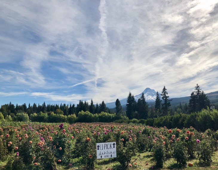 Mountain view orchard apples and upick dahlias