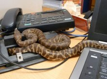 Snakes in an office