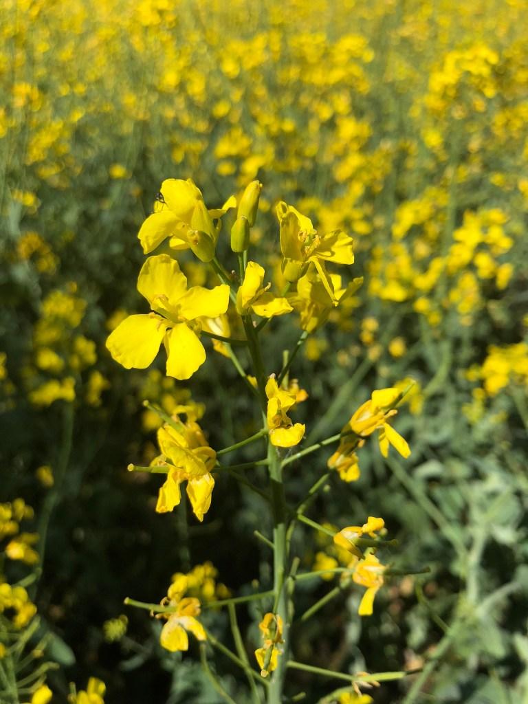 Gelbe Rapsblüte im Rapsfeld -> Brassica Napus