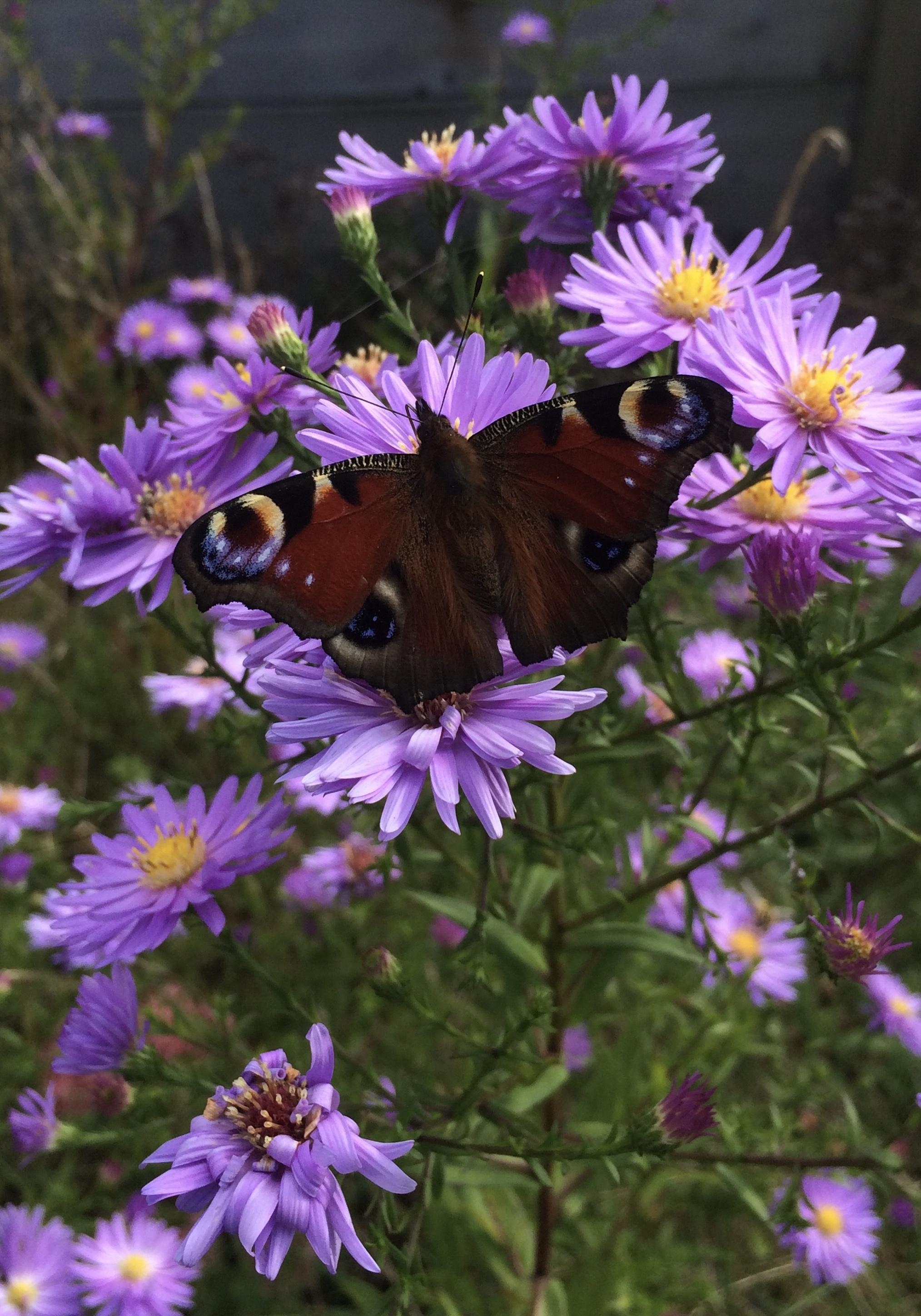 Pfauenauge auf lilafarbenen Blumen