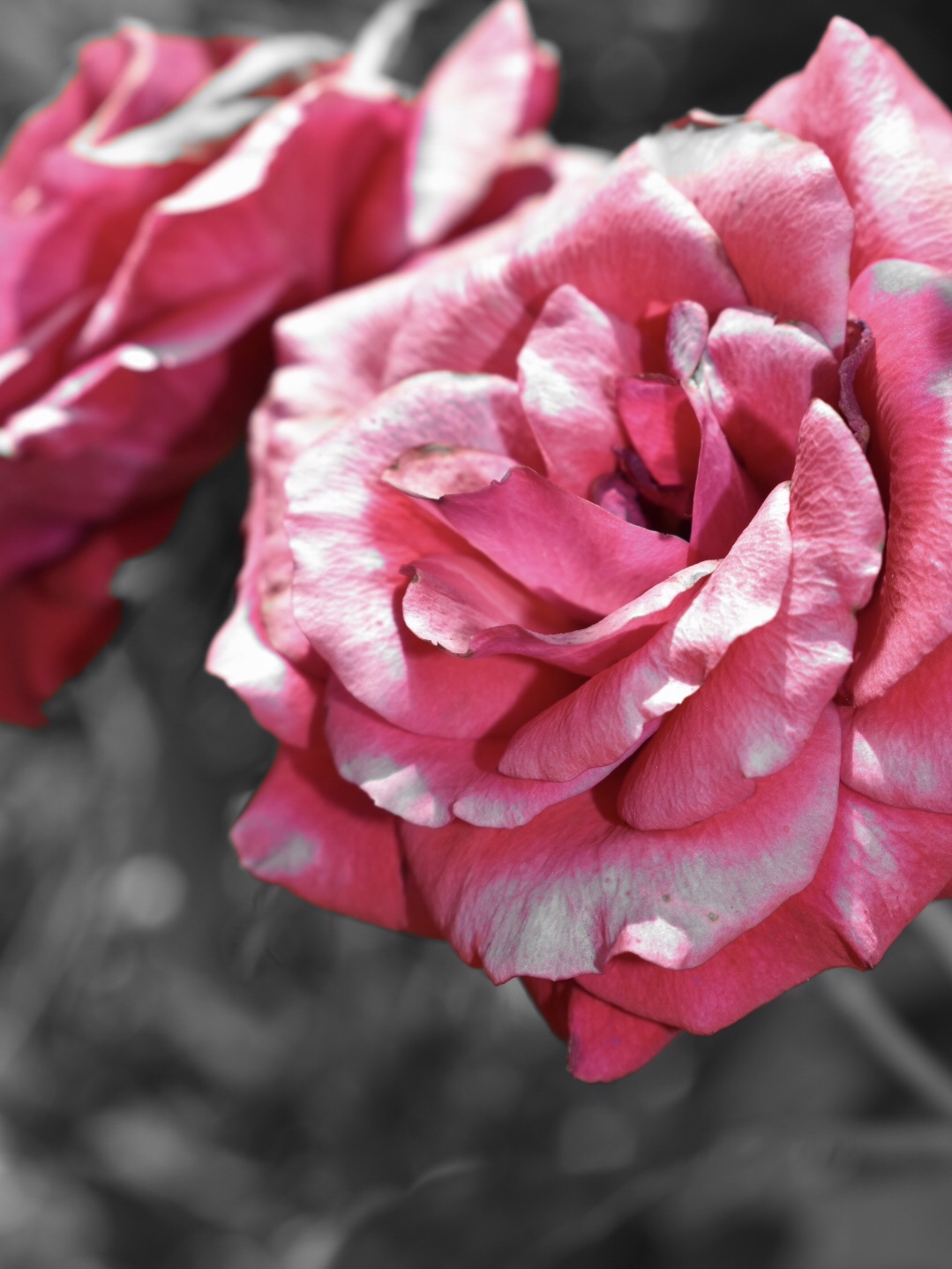 Pinkfarbene Rosen