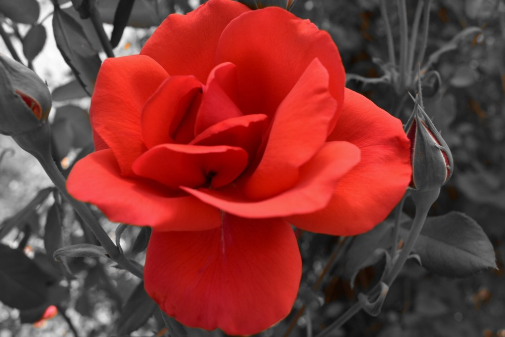 Korallenrote Rose mit Knospen