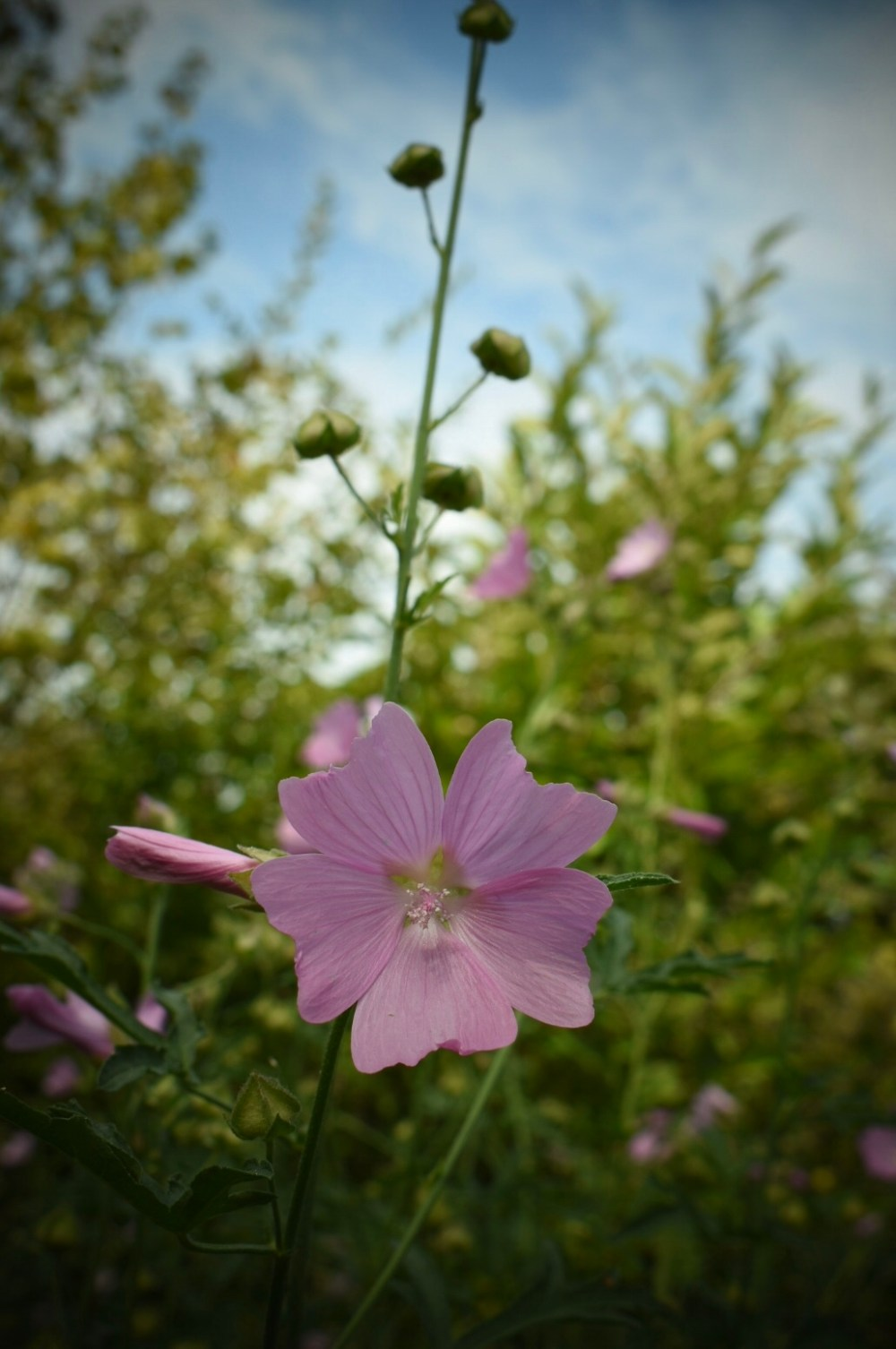 Rosafarbene Malvenblüte