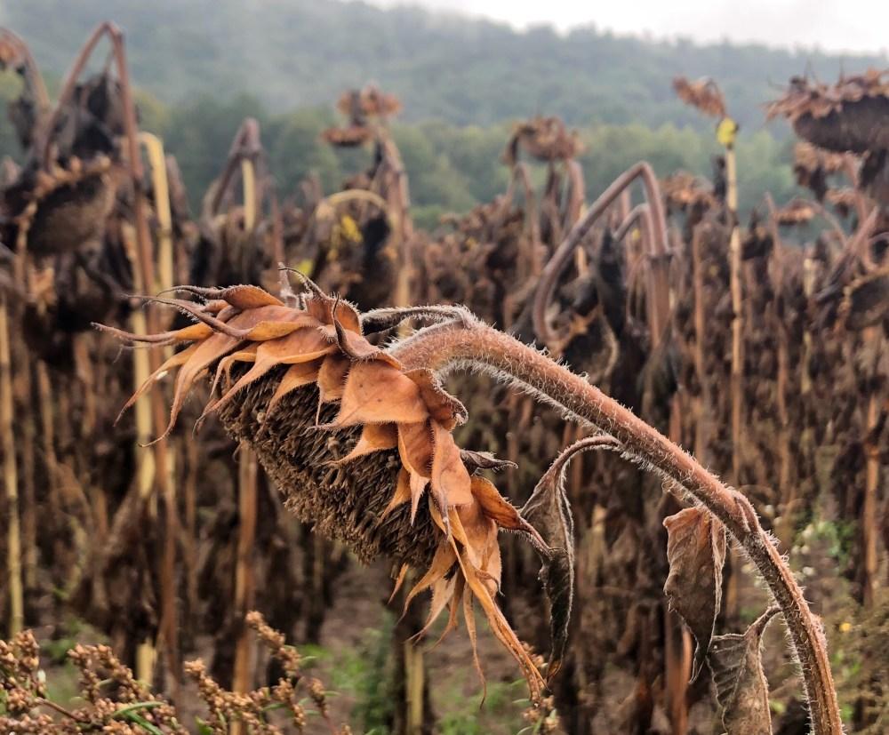 Tote Sonnenblumen an einem Sonnenblumen Feld